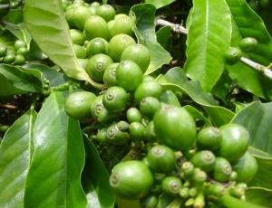 A ingestão diária de cápsulas de café ajudou um grupo de pessoas a emagrecer em um período de seis meses até 10% de seu peso