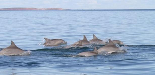 Golfinhos conseguem formar até três diferentes tipos de alianças, revela estudo feito no oeste da Austrália