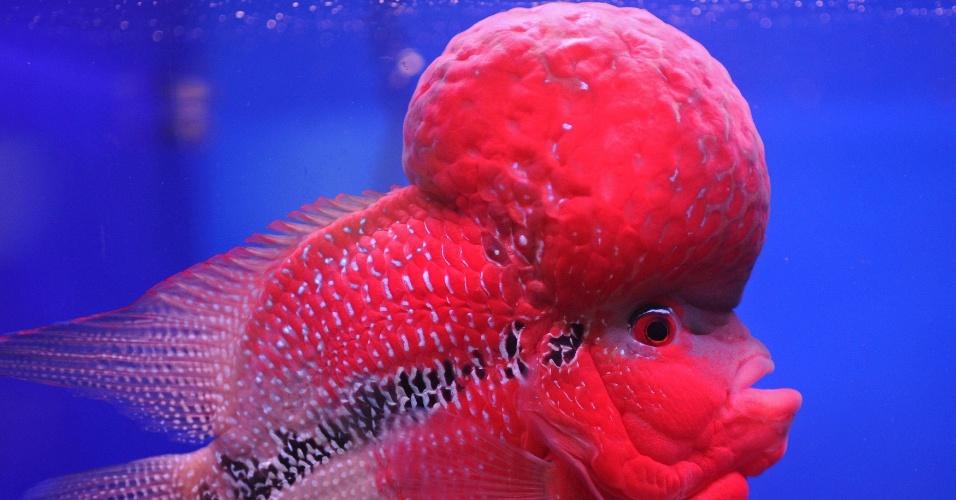 """Peixe Flowerhorn é exibido no festival anual de peixe ou """"Pramong Nomjai Tailandês Tuala"""" em Bangkoc"""