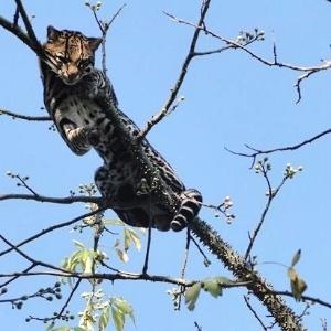 Uma jaguatirica macho foi capturada sábado (31) em um quintal de condomínio na cidade de Castilho, na região de São José do Rio Preto (SP). A onça de 12 kg foi capturada pela Polícia Ambiental e levada para o zoológico de Ilha Solteira, onde está sob observação
