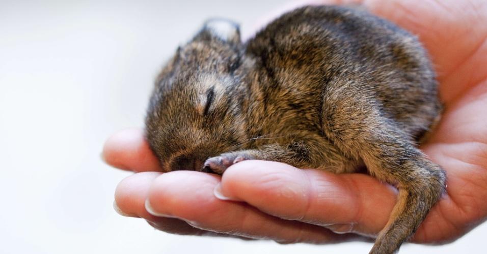 O pequeno coelho Ruediger (72 gramas) e sua irmã Kaline (60 gramas) foram encontrados abandonados em área do zoológico de Muenster, na Alemanha