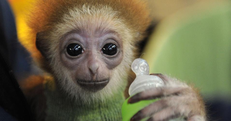 Filhote de macaco gibão é rejeitado pela mãe na Alemanha