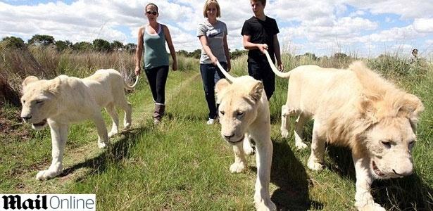 A cauda do leão branco funciona quase como uma guia de cachorro neste tipo de passeio