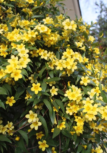 Jasmim-amarelo (Jasminum mesnyi)