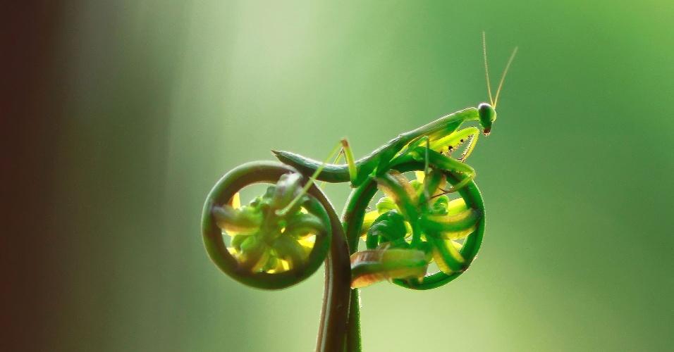 Louva-a-deus anda de 'bicicleta' na Indonésia