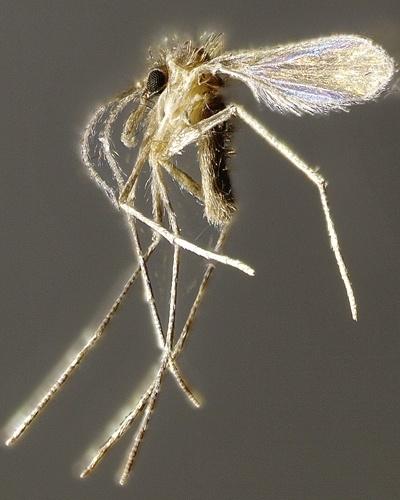 Nova espécie chamada Nyssoyia delsionatali em homenagem ao professor Delsio Natal