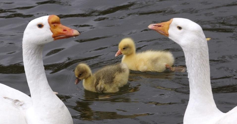 Família de gansos é fotografada em lago de Lausane, na Suíça