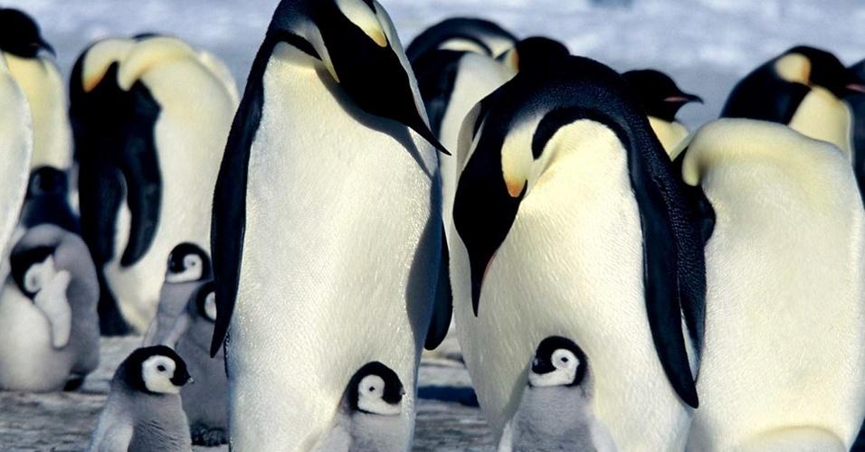 População de pinguins da Antártida é o dobro de estimativas anteriores