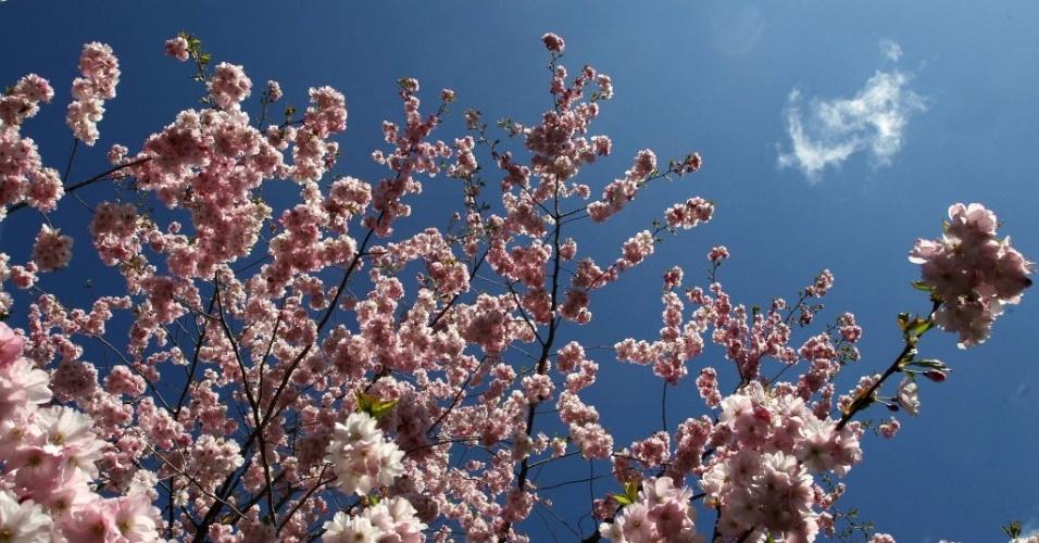 Cerejeira desabrocha em parque de Rostock, na Alemanha