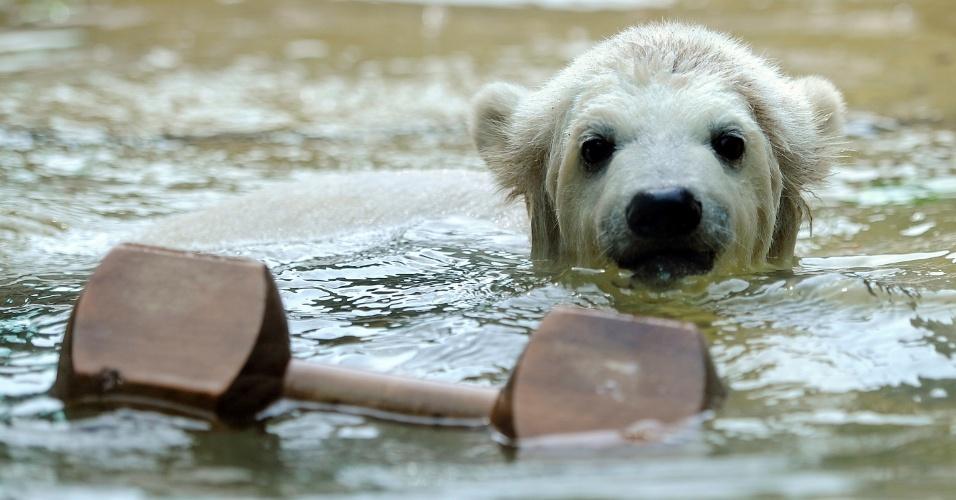 O urso polar Anori brinca na piscina de seu recinto no zoológico de Wuppertal, na Alemanha