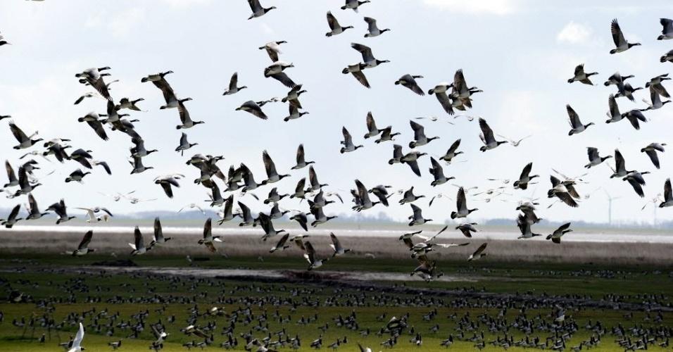 Patos voam pelos campos de Neufeld, norte alemão