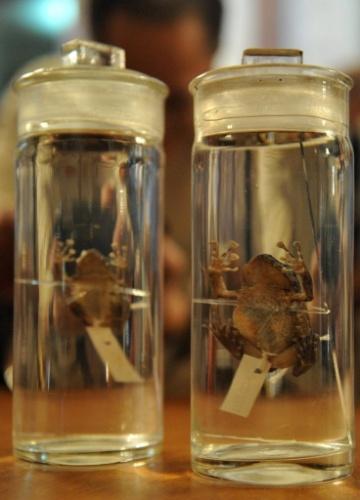 Visitante fotografa duas novas espécimes de sapos recém-descobertas em Manila, capital filipina