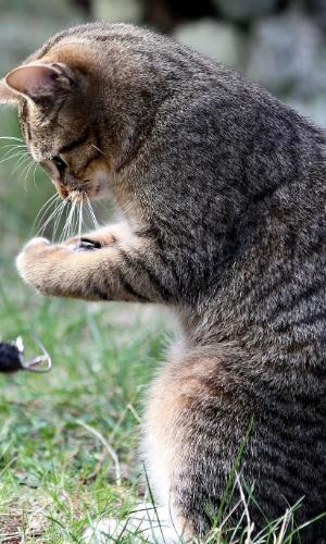 """Acharam que era lenda, mas um fotógrafo da AFP conseguiu flagrar um gato """"almoçando"""" um ratinho"""