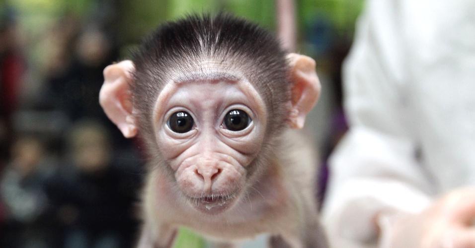 Com 13 dias de vida, Loango, um macaco mangabey, encara com curiosidade a câmera no zoológico Jardin des Plantes, em Paris