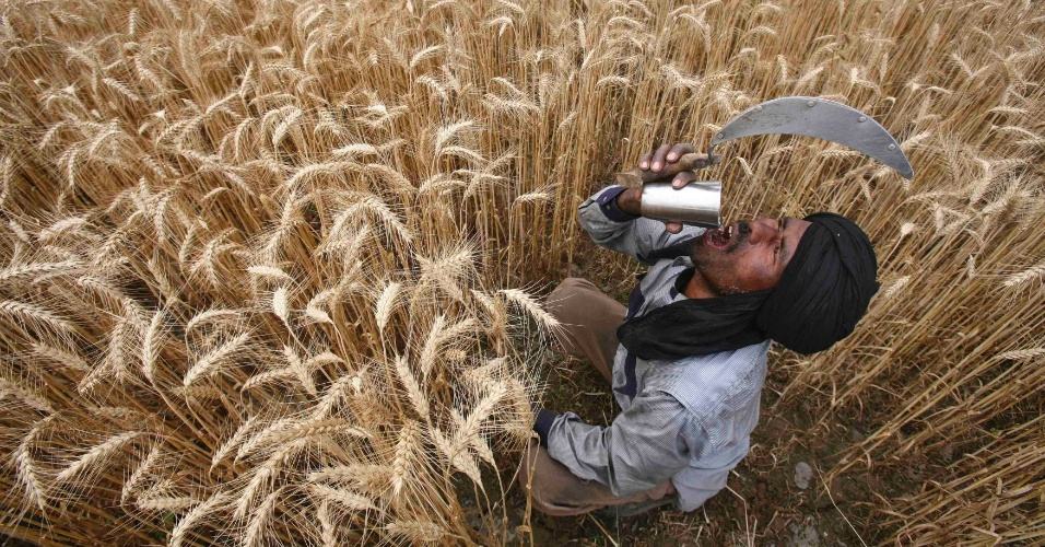 Trabalhador bebe água durante colheita de trigo em campo do vilarejo de Jhampur, na Índia