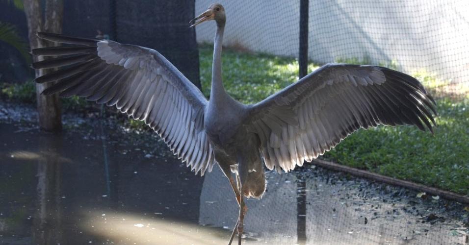 Garça abre asas em zoo de Nakorn Ratchasrima, na Tailândia. Segundo autoridades, o animal foi praticamente extinto do país há mais de 50 anos, restando apenas cerca de 200 espécimes, mantidos em cativeiro de zoo tailandeses