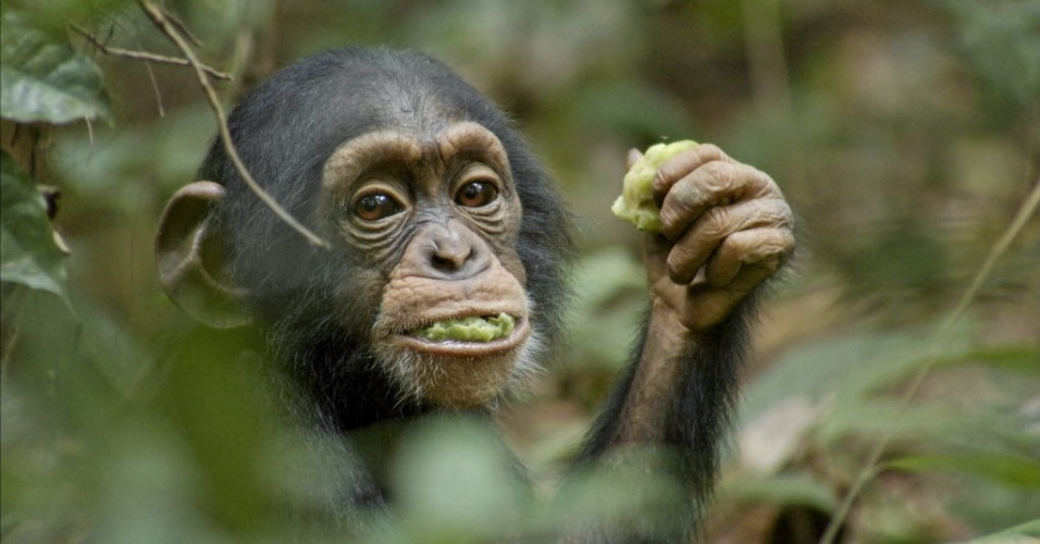 Imagem traz o bebê chimpanzé Oscar comendo uma fruta. O animal é uma das estrelas do longa da Dsiney, Chimpanzee. A produção retrata a história de Oscar, que ainda bebê, passa a encarar desafios na  floresta na Costa do Marfim e Uganda