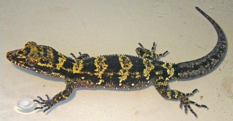 Uma nova espécie de lagartixa foi descoberta na ilha Manus, na Papua-Nova Guiné