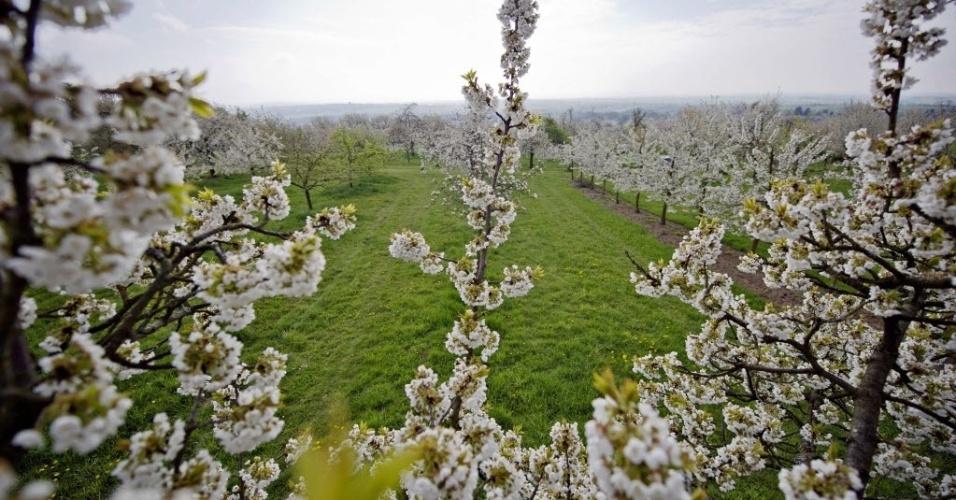 Flores de cerejeira se destacam em pomar de Ockstadt-Friedberg, oeste da Alemanha