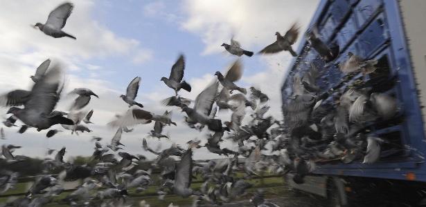Ondas sonoras de baixa frequência ajudam os pombos a traçar caminho de casa