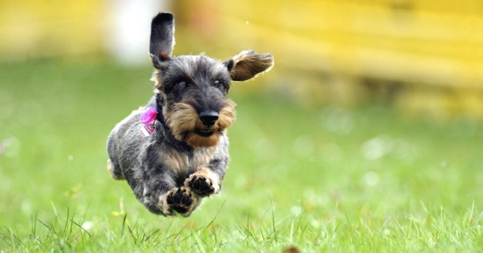 Cachorro participa de corrida canina em Itzehoe, na Alemanha