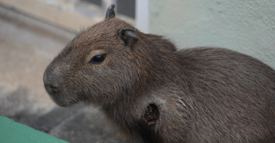 Filhote de capivara que estava ferido em Blumenau (SC) desde sexta-feira (20) ao meio-dia, recebeu atendimento veterin&#225;rio