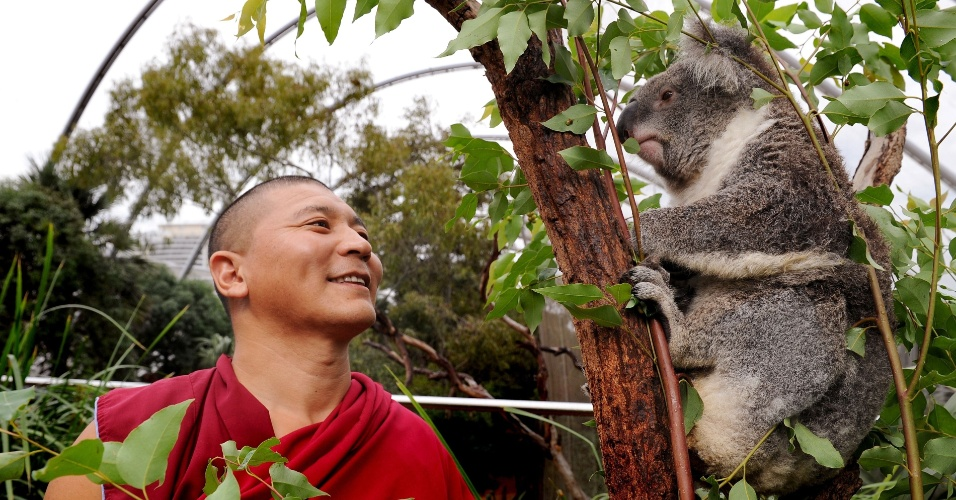 Monge tibetano observa coala em visita a parque de vida selvagem em Sydney, na Austr&#225;lia, para aben&#231;oar os animais do pa&#237;s