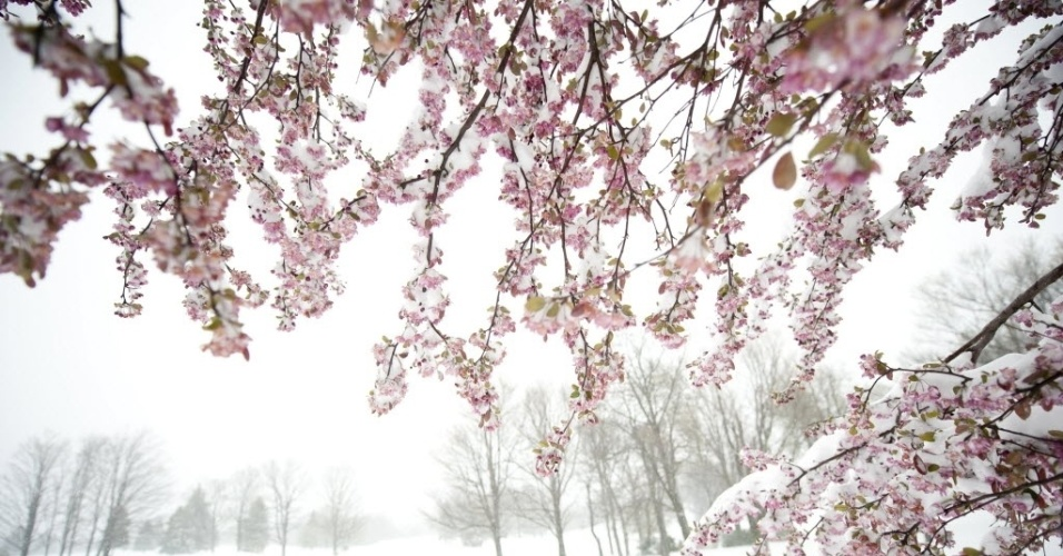 Neve é vista em macieira na região de Somerset, na Pennsylvania (EUA), após tempestade de neve. A nevasca fora de época também atingiu Pembroke, em  Nova York