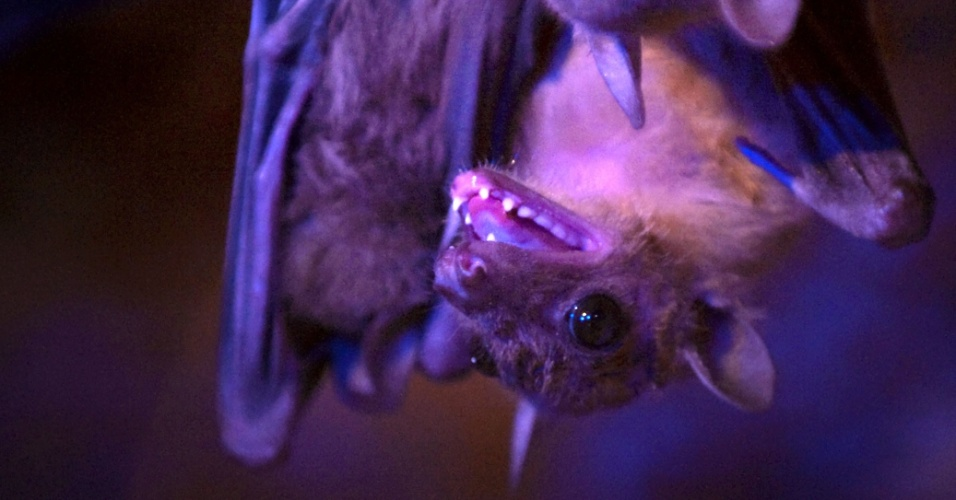 Morcego frugívoro no zoológico Amneville, leste da França