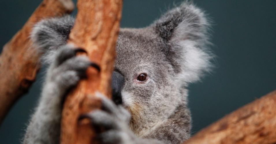Coala em um galho de árvore em seu recinto no World Wildlife em Sydney