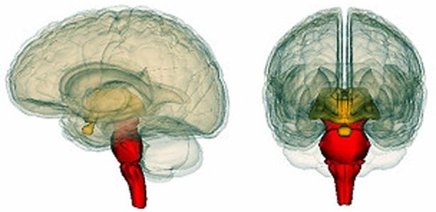 O tronco cerebral reagiu mais no caso de estudantes capazes de falar duas línguas, dizem pesquisadores