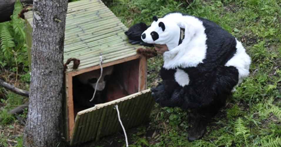 3.mai.2012 - Vestidos de urso panda, pesquisadores do Centro de Conservação de pandas gigantes de Sichuan, na China, soltaram dois animais da espécie na natureza: Tao Tao, 21 meses, e sua mãe, Cao Cao
