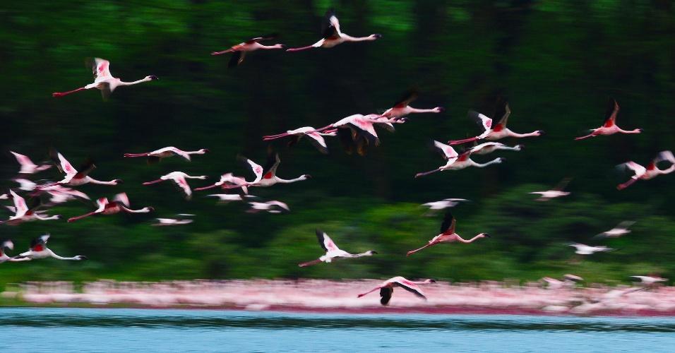 Bando de flamingos povoa o lago Oloidien, próximo a Naivasha, no Quênia