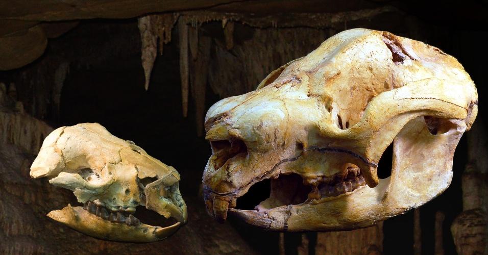 3.mai.2012 - Foto divulgada pela Universidade de Nova Gales do Sul, em Queensland, na Austrália, mostra crânios de nimbadon, criaturas que se assemelham a ovelhas e que datam 15 milhões de anos