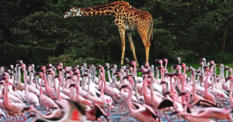 Girafa caminha próxima a flamingos no lago Oloidien, no Quênia