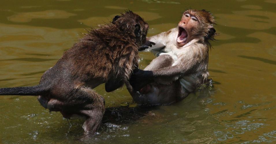 3.mai.2012 - Macacos brincam na água durante dia quente na província de Ayutthaya, nas Filipinas. A capital do país, Bancoc, tem registrado as mais altas temperaturas dos últimos 30 anos
