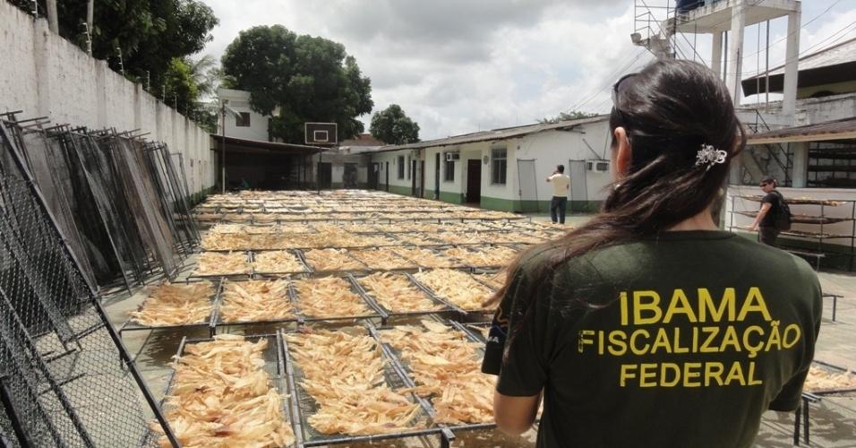 4.mai.2012 - Fiscal do Ibama observa pátio com bexigas natatória de empresa de Belém, no Pará, que foi embargada e multada em R$ 2,7 milhões, após a apreensão de 7,7 toneladas de barbatanas de tubarão. O material ilegal seriam exportado para China