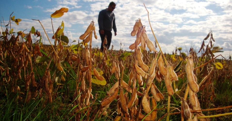 7.mai.2012 - A colheita de soja é escassa em função da seca no RS