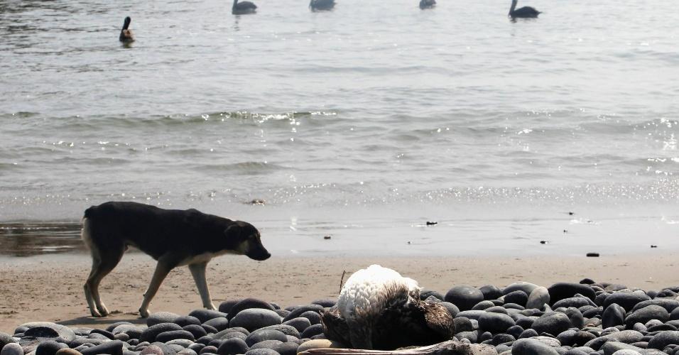 7.mai.2012 - Cachorro observa pelicano morto nas áreas de uma praia de Canete, em Lima, Peru. O governo peruano declarou alerta em toda a costa norte do país e pediu que moradores e turistas fiquem longe de trechos de praia, após a morte misteriosa de centenas de golfinhos e pelicanos durante as últimas semanas