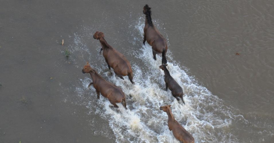 7.mai.2012 - Cavalos tentam encontrar área que não tenha ficado submersa pelas águas do rio Solimões no município de Careira da Várzea (25km de Manaus), na Amazonas. Segundo a assessoria do Governo do Estado, 90% da cidade foi atingida pela cheia