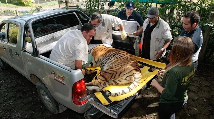7.mai.2012 - Três felinos são transferidos de zoo em Salete (SC) para Cotia (SP) porque não recebiam tratamento adequado