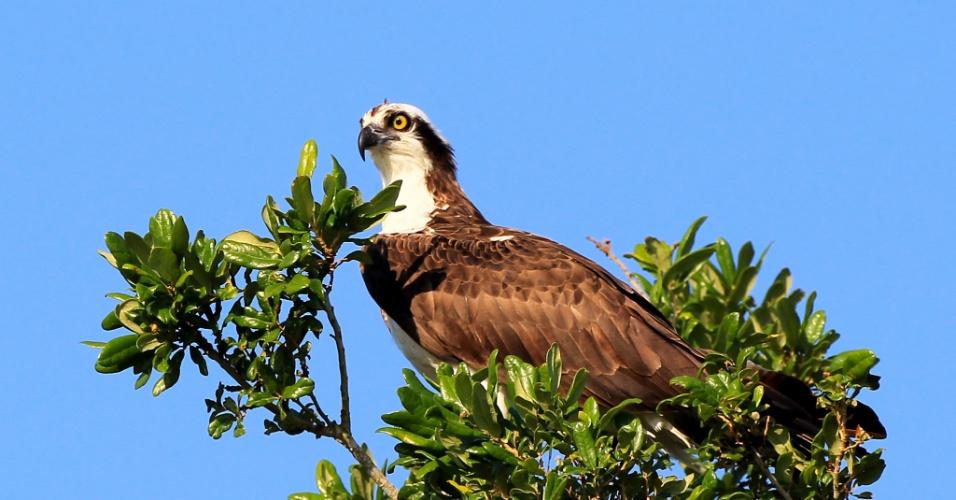 8.mai.2012 - Águia-pescadora aparece em uma árvore perto do TPC Sawgrass, em Ponte Vedra Beach, na Florida