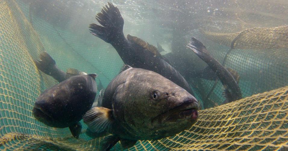 9.mai.2012 - Corvinas-legítimas (Argyrosomus regius) nadam dentro de rede em Port Andratx, na ilha espanhola de Mallorca