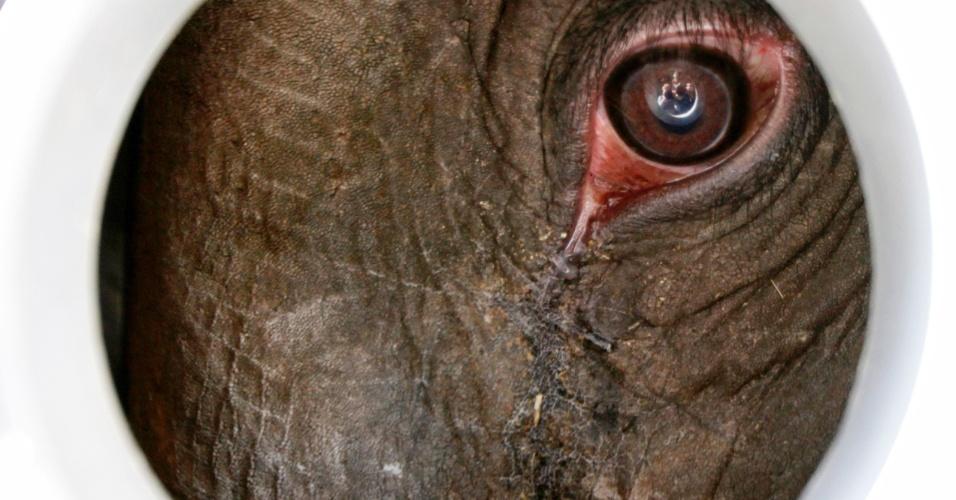 9.mai.2012 - Tonya, uma filhote de elefante, olha para fora de seu container durante o translado dela do zoológico de Blijdorp, em Roterdã (Holanda), para o zoológico de Praga (República Tcheca)