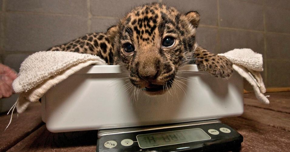 9.mai.2012 - Um dos dois filhotes de onça nascidos no zoológico de San Diego nos Estados Unidades passa por avaliação médica. Os filhotes de 12 dias são os primeiros a nascerem no zoo desde 1989