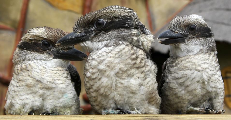 10.mai.2012 - Filhotes de Kookaburras de dois meses de idade descansam no zoológico de Marlow, na Alemanha