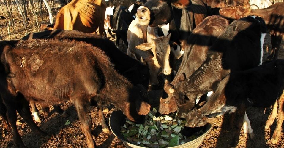 15.mai.2012 - Animais disputam folhas de palmeira servida para amenizar falta de pastagem na maior seca das últimas décadas no Nordeste
