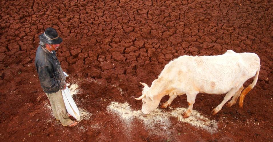 25.mai.2012 - Animal bebe resto de água que sobrou nos campos de Joia, no noroeste do Rio Grande do Sul, que sofrem os efeitos da seca. Segundo estudo divulgado pelo governo federal, o Estado é líder nacional em decreto de emergência por estiagens