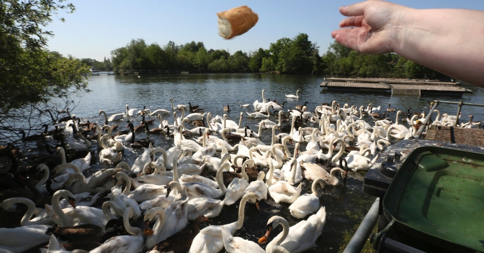 25.mai.2012 - Cisnes nadam em lago de santu&#225;rio em Shepperton, perto de Londres. O santu&#225;rio tem dois hectares de extens&#227;o e consiste num hospital para aves