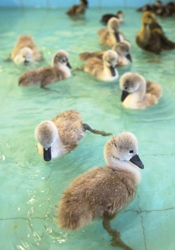 25.mai.2012 - Filhotes de cisnes, órfãos, nadam em santuário em Shepperton, perto de Londres